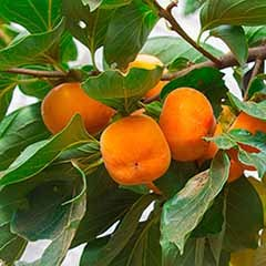 Sharon Fruit (Diospryros kaki) 7.5L potted tree 1.8M tall
