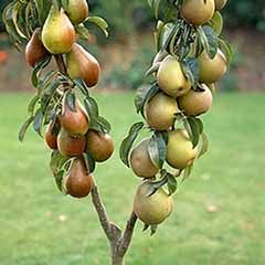 Duo Fruit Tree – Pear Conference and Concorde