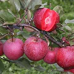 Premium Apple Tree 'Tickled Pink'
