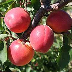 Gourmet Apricot Petit Muscat