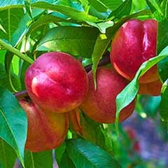 Patio Perfect Dwarf Patio Nectarine Tree