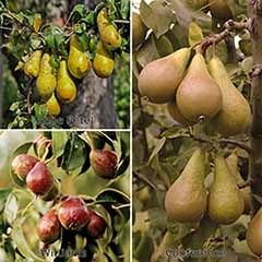 Three Variety Family Pear Tree 3L potted