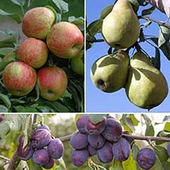 ClassicOrchard Fruit Tree Collection