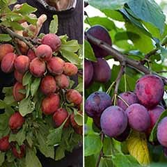 Duo Fruit Plum Tree 7.5L potted