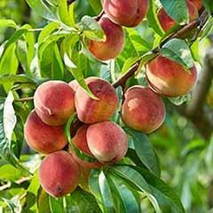 Peach 'Suncrest' 5L