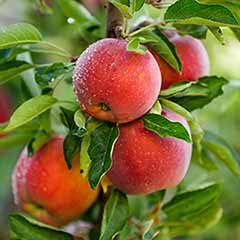 Apple 'Red Love'