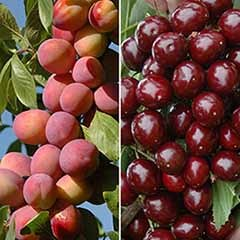 Patio Fruit Trees Cherry 'Athos' and Plum 'Little Vic'