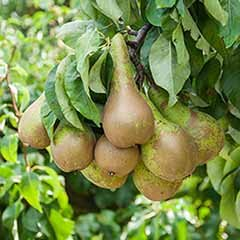 Pear 'Little Conference' GYO Fruit Tree