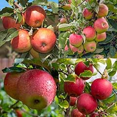 Apple Four Variety Family