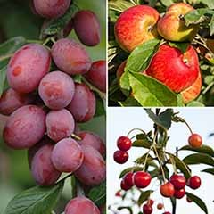 Trio Fruit Tree Apple/Cherry/Plum 31cm