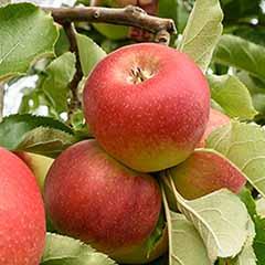 Apple Malus domestica 'Gala'