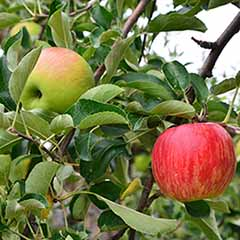Apple Malus domestoca Fuji Kiku