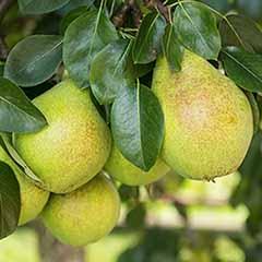 Pear Pyrus communis 'Beurre Alex. Lucas'