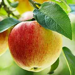 Apple Patio 'Summerred'