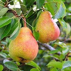 Pear 'Buerre Hardy'