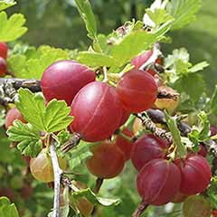 Gooseberry 'Hinnomaki Red'