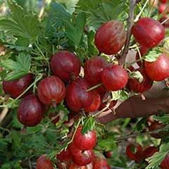 Premium Gooseberry 'Xenia'