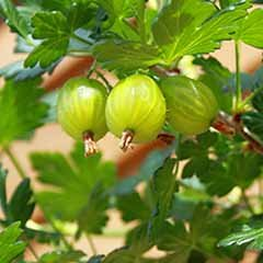 Premium Gooseberry 'Invicta'