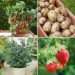 Complete Edible Patio Garden - potatoes, blueberries & strawberries