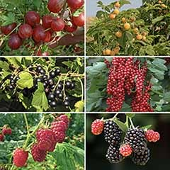 Complete Patio Fruit Bush Garden