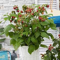 Patio Raspberry 'Little Red Princess (R)' 5L