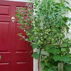 Gooseberry 'Invicta' Standard