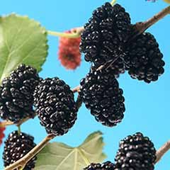 Morus rotundiloba 'Mojoberry' Dwarf Mulberry