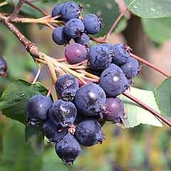 Greatberry (R) Amelanchier alnifolia 'Garden'