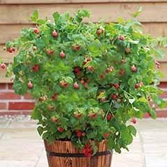 Patio Raspberry 'Ruby Beauty'