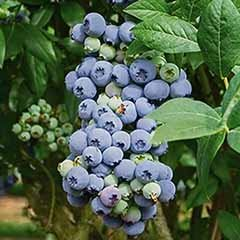 Blueberry vaccinium (early season)