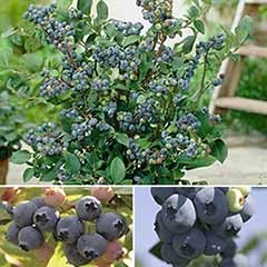 Complete Blueberry vaccinium Kit