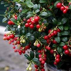 Lingonberry Vaccinium vitis-idaea 'Miss Cherry'
