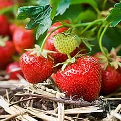 FREE English Strawberries To Pick From Your Own Garden