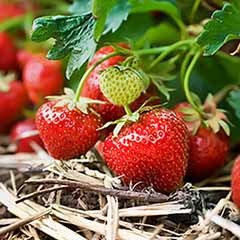 Strawberry 'Cambridge favourite' trayplants x 6