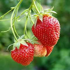 Set of 4 Strawberry 'Elsanta' Potted Plants