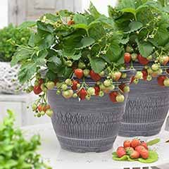 Pair of Premium Strawberry Planters