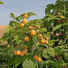 Premium Primocane Raspberry 'All Gold'