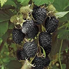 Black Raspberry Black Jewel Plant in a 2L Pot - Grow Your Own Fruit