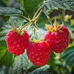 Premium Long Cane Raspberry 'Tullameen' - 10 long canes