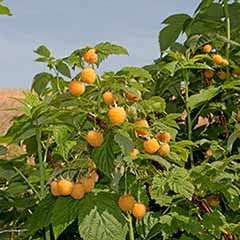 Raspberry Allgold 6 plug plants