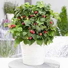 Patio Raspberry Rubus idaeus 'Yummy'
