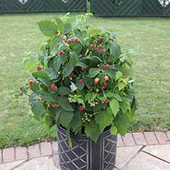 Raspberry 'Summer Lovers Patio Red' 9cm