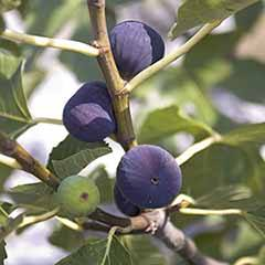 Hardy Fig 'Madeleine des Deux Saisons' Plant in a 2L Pot to Grow Your Own