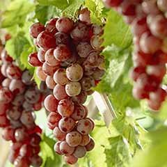 Table Grape 'Red Globe' standard
