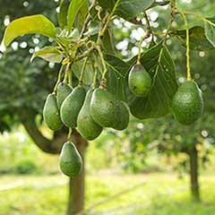 Grow Your Own Avocado Tree in a 2L Pot 80cm Tall