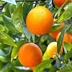'Mandarin' Citrus 6L