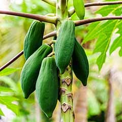 Papaya Plant Carica papaya 3L