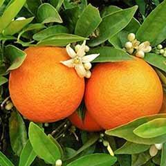 Pair of Citrus Trees with Fertiliser & Planters