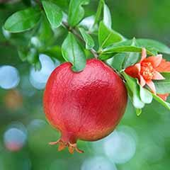 Hardy Pomegranate Bush 'Chico'