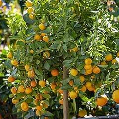 Citrus Calamondin 'Panama Orange Tree